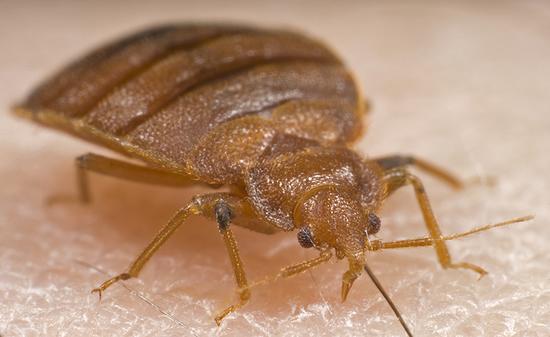 特集2: Bed Bugs (南京虫)